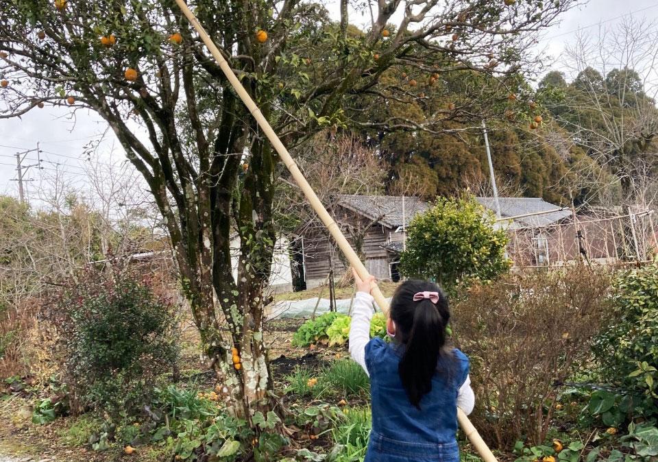 末吉の柚子狩り